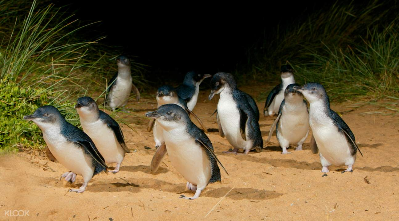 penguin parade
